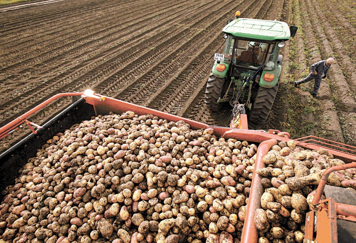 Подготовка к посадке семенного картофеля