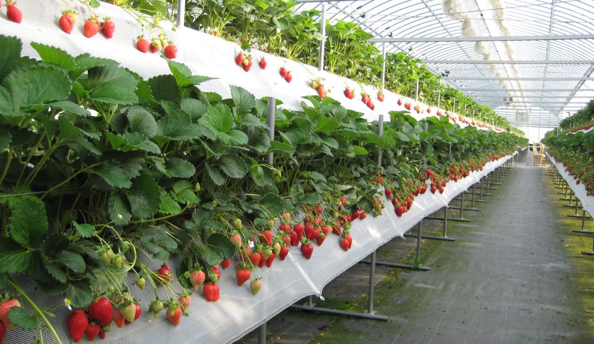 Выращивание клубники для бизнеса