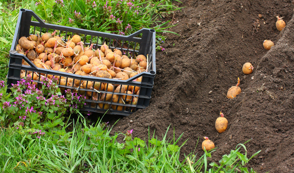 Посадка семенного картофеля