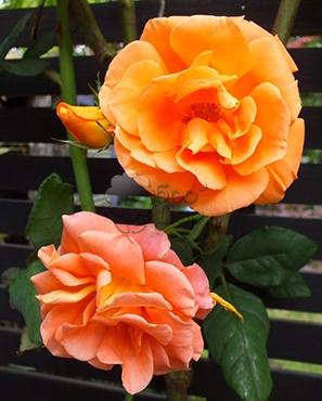 понять ваше плетистая роза метанойя фото греции зимние распродажи