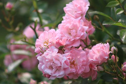 Роза почвопокровная Зе Фейри (The Fairy)