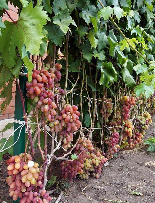 виноград юбилей новочеркасска описание сорта фото оберегает своего