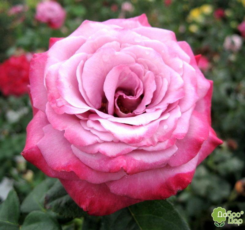 роза парадиз фото и описание деревянного дома